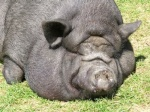 **Lesa** The Pig
