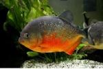 piranha59
