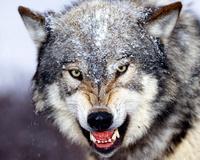 Ptit Loup