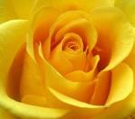 الوردة الصفراء