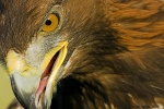 Mexican eagle