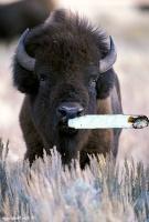 bison fumé