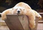 beruang rebus