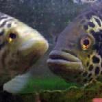 bruciethefish
