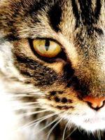 Griffe de Tigre