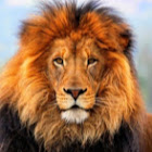 Golden_Lion17777