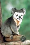koalawinner