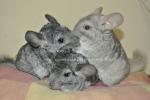 Chinchis&Mascotas