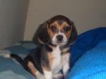 thor_beagle