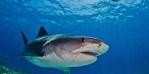 shark raise