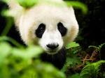 Panda 59