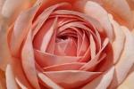 hariet~rose