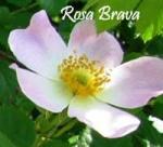 Rosa Brava