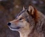 Wolfdra