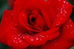 rosemelek