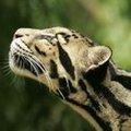 Striped Leopard