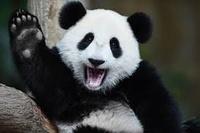 Panda BzH