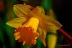 fleurdejonquille