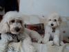 El Cielo de los Poodles 12-76