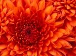 семицветка