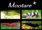 Mootare
