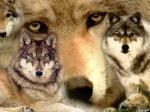 wolfy123