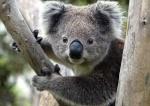 Koala Majordome