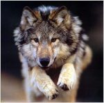 Wolfy3D