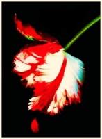 damaged_roses_17