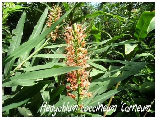 hedychium coccineum 'carneum'