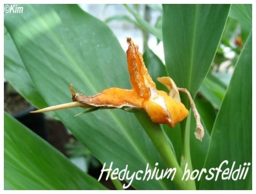 hedychium horsfeldii