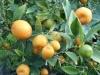 Kumquat à fruits ovales