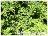 Fruitiers et agrumes Actini11