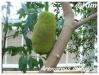 Fruitiers et agrumes Artoca11