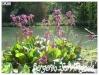 Plantes aquatiques Bergen10