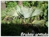 Palmiers et cycadales Brahea10