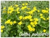Plantes aquatiques Caltha10