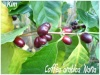 Fruitiers et agrumes Coffea10