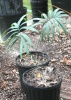 Palmiers et cycadales Cycas_10