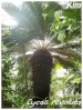 Palmiers et cycadales Cycas_13