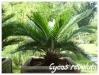 Palmiers et cycadales Cycas_14