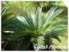 Palmiers et cycadales Cycas_15