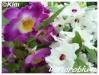 Orchidées et carnivores Dendro13