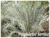 Palmiers et cycadales Enceph10