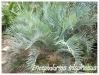 Palmiers et cycadales Enceph13
