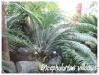 Palmiers et cycadales Enceph14