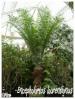 Palmiers et cycadales Enceph16