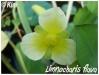 Plantes aquatiques Limnoc10