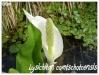 Plantes aquatiques Lysich10