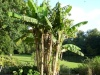 Bananiers et autres zingibérales Musa_b14